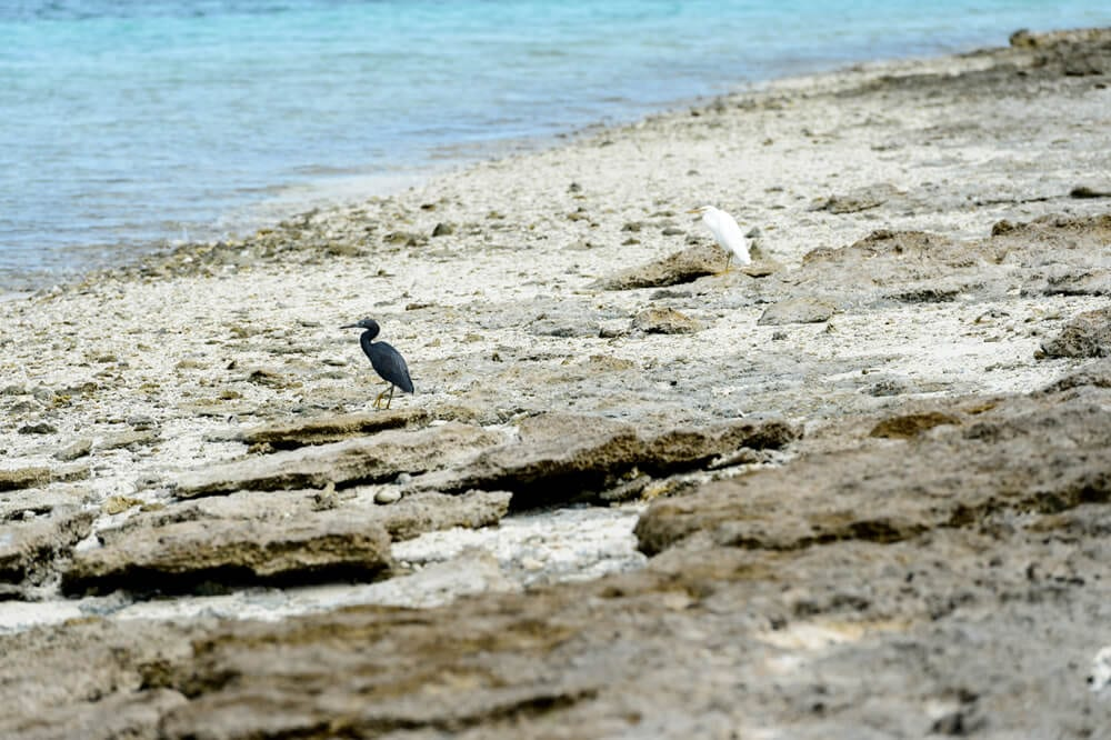 Bird Watching Southern Great Barrier Reef - Marine Birds and Birds of Lady Musgrave Island