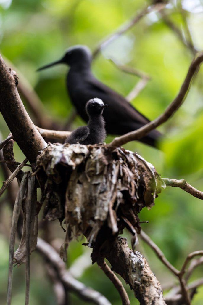 Black Noddy Bird Watching Queensland Australia - Rare Australian Birds, Great Barrier Reef