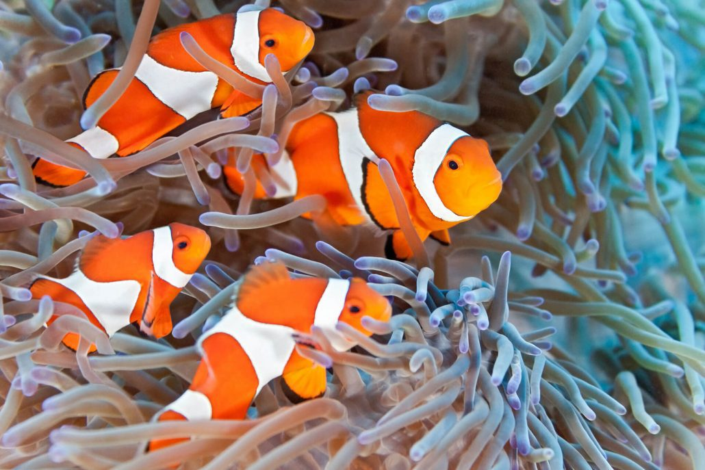clown fish great 8 southern great barrier reef