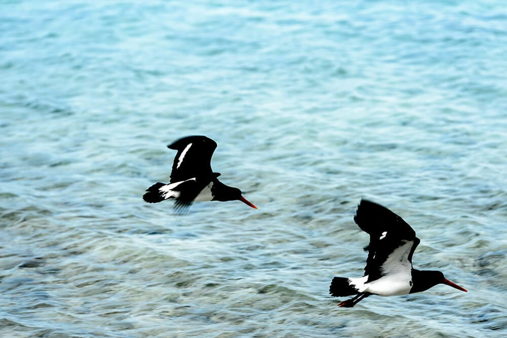 birds migrating lady musgrave island