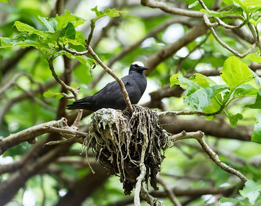 black noddy nesting