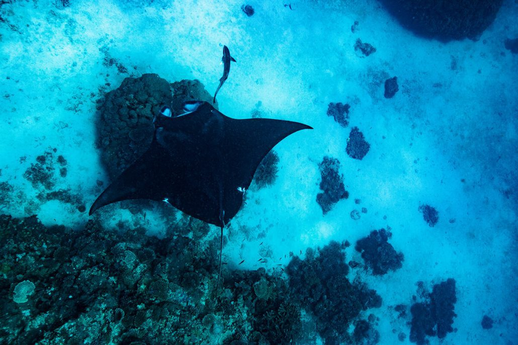 mantaray ladymusgrave island great barrier reef