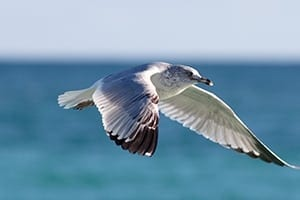 Seagull - Great Barrier Reef Birds. Discover An Abundance Of Wildlife At Lady Musgrave Island
