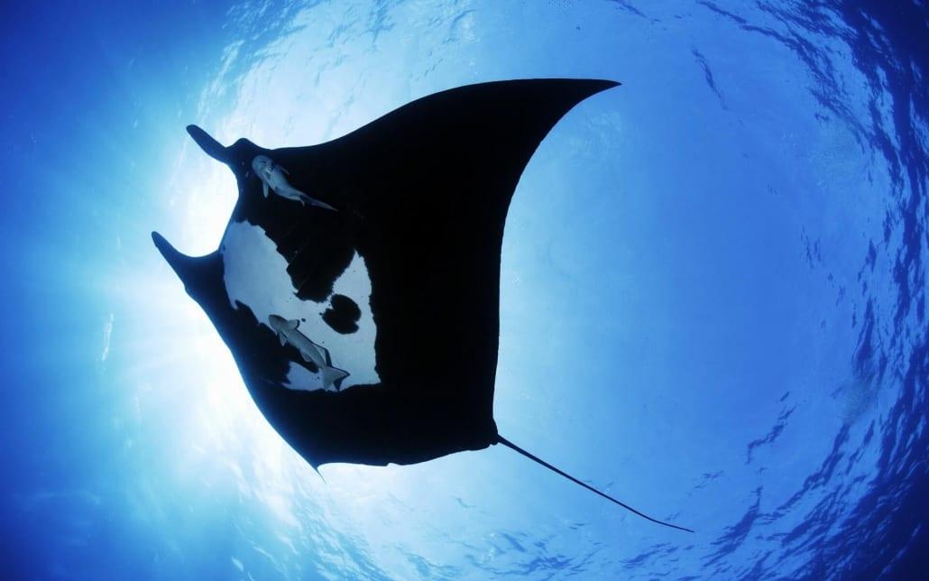 Manta Ray natures calendar Great Barrier Reef.jpg
