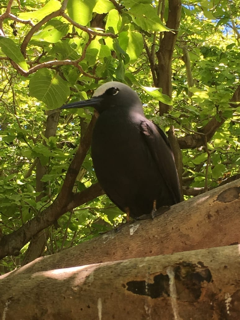 Bird Watching 1 Lady Musgrave Experience Great Barrier Reef