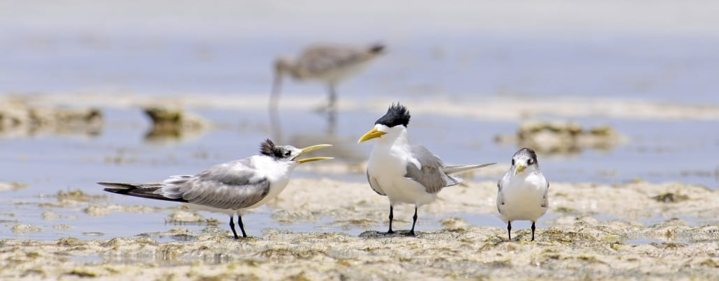 Bird Watching 19 Lady Musgrave Experience Great Barrier ReefGREATER CRESTED TERN