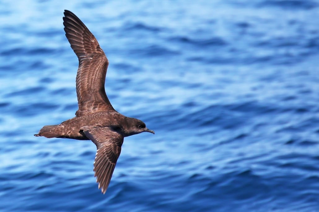 Bird Watching 26 Lady Musgrave Experience Great Barrier ReefWEDGETAIL SHEARWATER