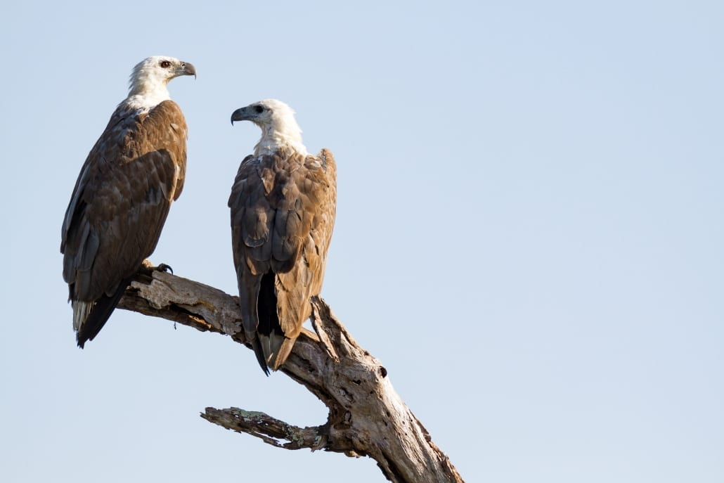 Bird Watching 27 Lady Musgrave Experience Great Barrier ReefWHITE BELLIED SEA EAGLE