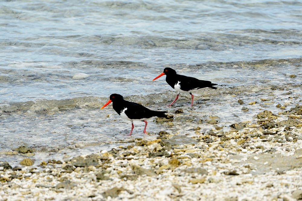 Bird Watching 3 Lady Musgrave Experience Great Barrier Reef