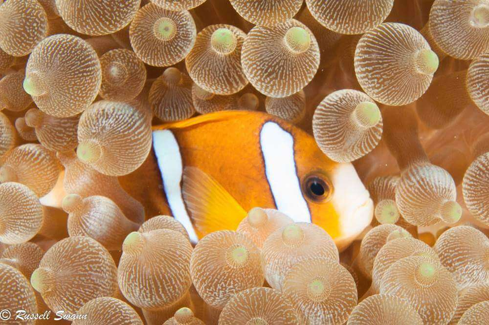 Clownfish Lady Musgrave Experience Great Barrier Reef