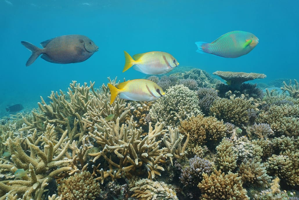Two Barred Rabbitfish Great Barrier Reef